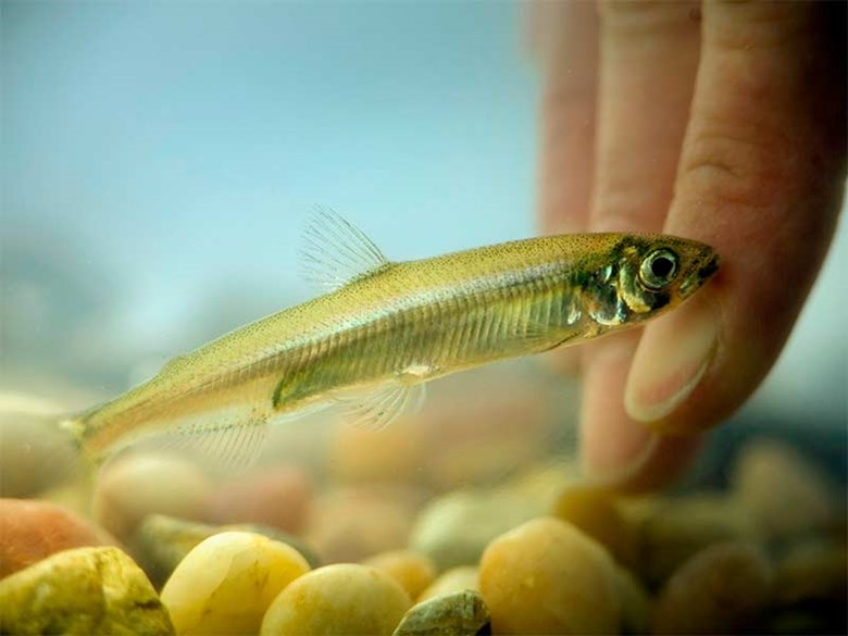 Delta Smelt and other fish species plummet to record low levels